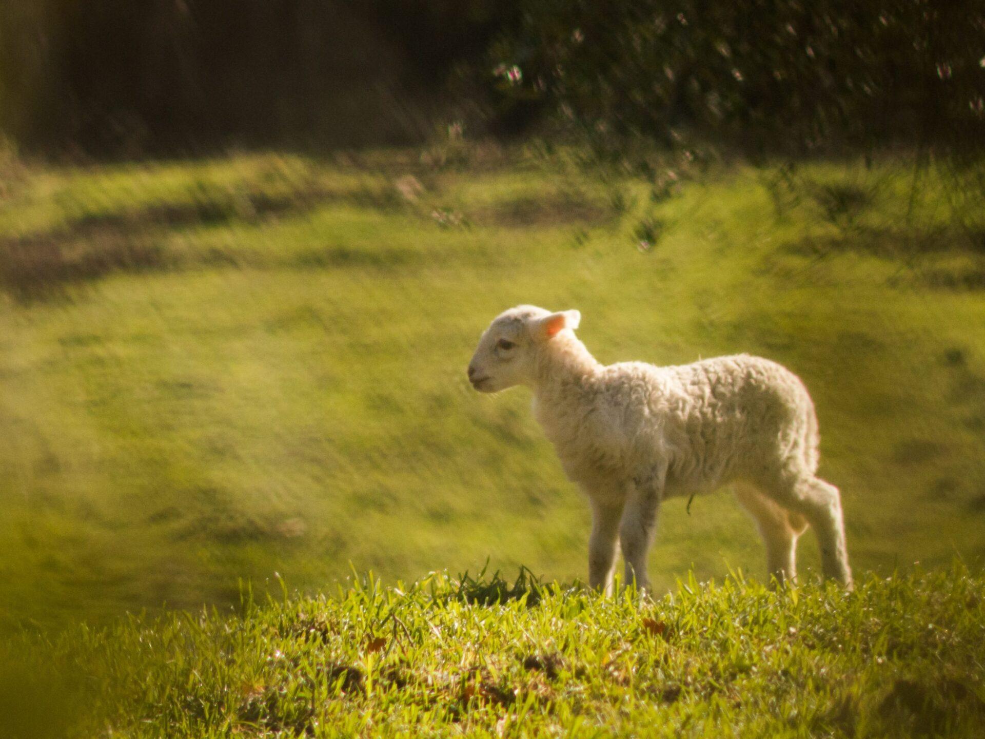 Agnello Alpago Lamb